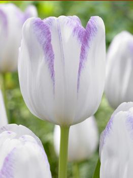 фото тюльпан гвен